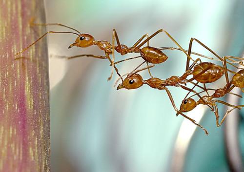 ant_team